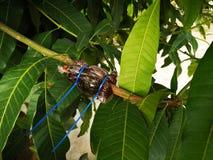 Árboles frutales del aire que acodan en árbol de mango imagen de archivo libre de regalías