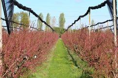 Árboles frutales en la floración Imagen de archivo