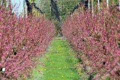 Árboles frutales en la floración Fotos de archivo