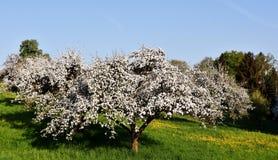 Árboles frutales en primavera Foto de archivo