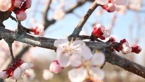 Árboles frutales florecientes almacen de video