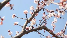 Árboles frutales florecientes almacen de metraje de vídeo