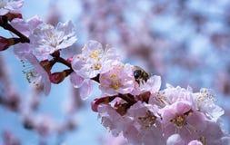 Árboles frutales florecientes Abeja en una rama floreciente Fotos de archivo