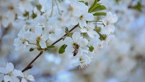 Árboles frutales florecientes de polinización de la abeja en primavera Cámara lenta almacen de metraje de vídeo