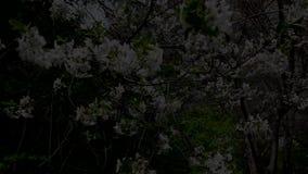 Árboles frutales florecientes en el jardín, albaricoque, cereza, pera metrajes