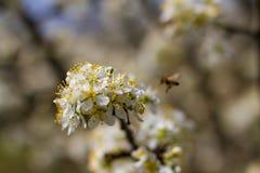 Árboles frutales florecientes en jardín de la primavera Fotos de archivo