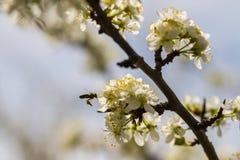 Árboles frutales florecientes en jardín de la primavera Fotografía de archivo