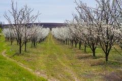 Árboles frutales florecientes en jardín de la primavera Imagenes de archivo
