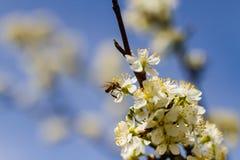 Árboles frutales florecientes en jardín de la primavera Fotografía de archivo libre de regalías