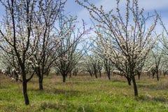 Árboles frutales florecientes en jardín de la primavera Imágenes de archivo libres de regalías