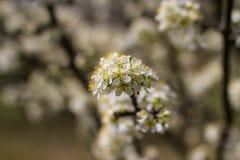Árboles frutales florecientes en jardín de la primavera Foto de archivo