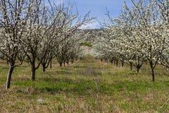 Árboles frutales florecientes en jardín de la primavera Foto de archivo libre de regalías