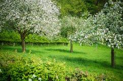 Árboles frutales que florecen en un prado en primavera Foto de archivo libre de regalías