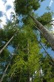 Árboles gigantes Fotos de archivo