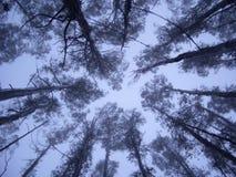 Árboles gigantes Fotografía de archivo libre de regalías