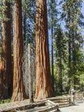 Árboles gigantes Imagen de archivo libre de regalías