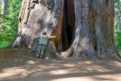 Árboles gigantes Imagenes de archivo