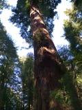 Árboles gigantes de la secoya Fotografía de archivo