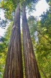 Árboles gigantes de la secoya Foto de archivo