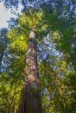 Árboles gigantes de la secoya Imagenes de archivo