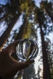 Árboles gigantes de la secoya de la secoya de la imagen vertical en el globo de cristal imagen de archivo