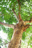 Árboles grandes Imagen de archivo libre de regalías