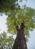 Árboles grandes Imagen de archivo