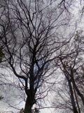 Árboles grandes de la silueta, nr Crookham Northumerland, Inglaterra Reino Unido Foto de archivo libre de regalías