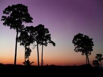 Árboles grandes de la silueta por la tarde Imágenes de archivo libres de regalías