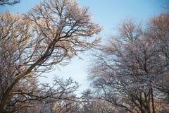 Árboles grandes del parque en el invierno Foto de archivo