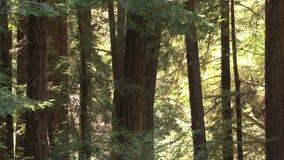 Árboles grandes en bosque almacen de video
