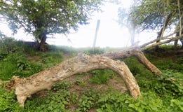 Árboles grandes en Crookham Northumerland, Inglaterra Reino Unido Imágenes de archivo libres de regalías
