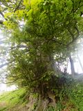 Árboles grandes en Crookham Northumerland, Inglaterra Reino Unido Imagen de archivo libre de regalías