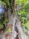 Árboles grandes en Crookham Northumerland, Inglaterra Reino Unido Fotografía de archivo