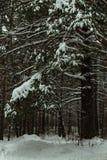 Árboles grandes en el bosque en invierno Árboles de pino, árboles de navidad Fotografía de archivo libre de regalías
