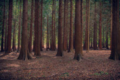 Árboles grandes en un bosque oscuro Foto de archivo libre de regalías