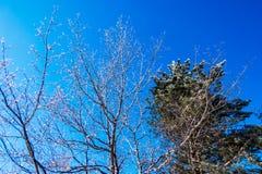 Árboles helados del invierno Fotografía de archivo