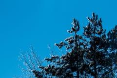 Árboles helados del invierno Fotografía de archivo libre de regalías