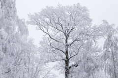 Árboles helados del invierno con el cielo Foto de archivo