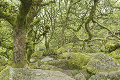 Árboles heridos cubiertos con el musgo en el wistman& x27 del cuento de hadas; bosque de s Imagenes de archivo
