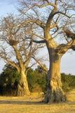 Árboles hermosos Imagen de archivo