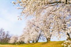 Árboles hermosos de la flor de cerezo, Sakura en tiempo de primavera con el azul fotos de archivo