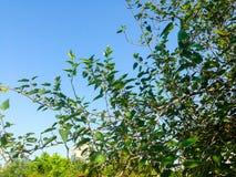 Árboles hermosos verdes y fondo del cielo azul Foto de archivo libre de regalías