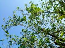 Árboles hermosos verdes y fondo del cielo azul Imagen de archivo libre de regalías