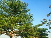 Árboles hermosos verdes y fondo del cielo azul Foto de archivo