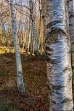 Árboles hermosos y tierra blancos del bosque del árbol de abedul cubiertos con las hojas foto de archivo libre de regalías