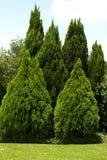 Árboles imperecederos en yarda verde Imagen de archivo libre de regalías