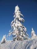 Árboles imperecederos nevados imagenes de archivo