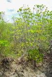 Árboles inundados en la provincia de Phetchaburi del bosque del mangle tailandia Fotos de archivo libres de regalías