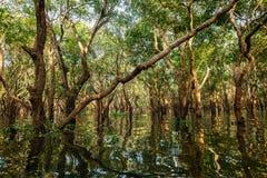 Árboles inundados en selva tropical del mangle fotografía de archivo libre de regalías